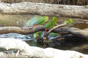Cachañas bañandose en la Reserva Nacional Laguna Parrillar