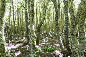 Árboles peludos con barbas en la Reserva Nacional Magallanes