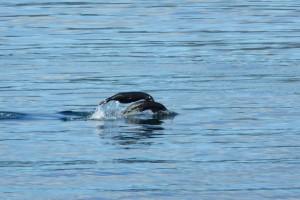 Crías de lobo marino en el Oceano Paífico