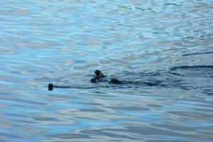 Crías de lobos marinos en el Oceano Pacífico
