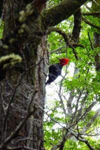 Carpintero negro macho con la típica coloración roja de la cabeza
