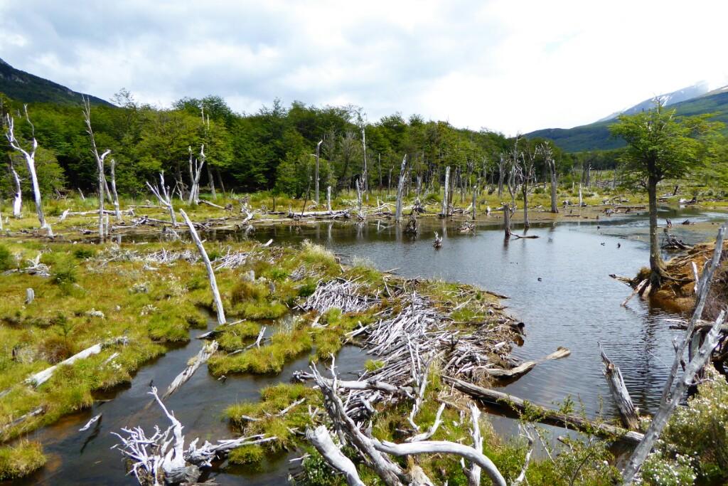 Los castores se introdujeron hace casi 70 años con fines peleteros, ahora han invadido y destruido muchos cauces de la Patagonia