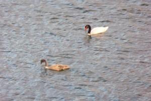 Cisne cuello negro adulto y juvenil