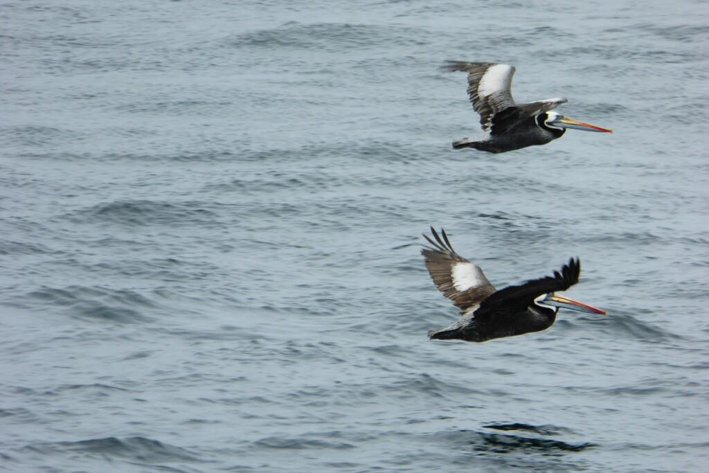 Estas aves son impresionantes en vuelo