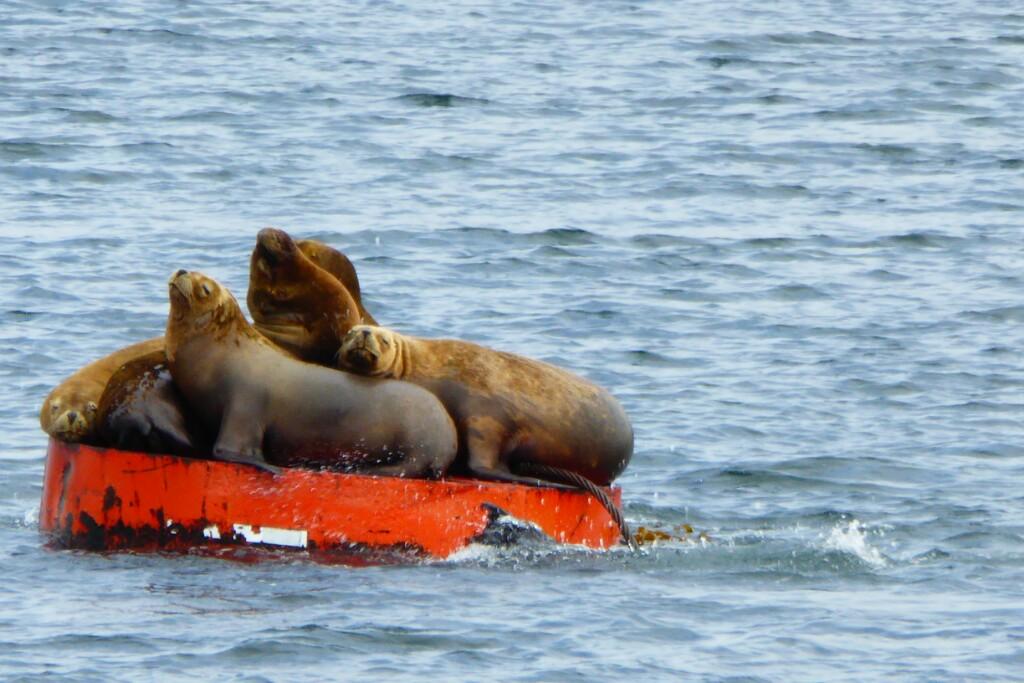 Lobos marinos adultos a la bartola sobre una boya en el canal de Chacao