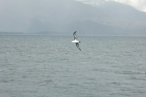 Albatros ceja negra (Thalassarche melanophriso)