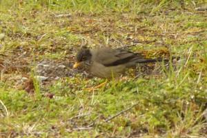 Zorzal  patagónico (Turdus falcklandil) en el Parque Nacional Laguna Parrillar