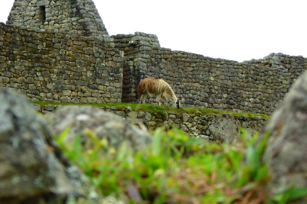 Los guanacos pastan en la plaza principal de Machu Picchu, y tambien se encaraman a las terrazas de viviendas
