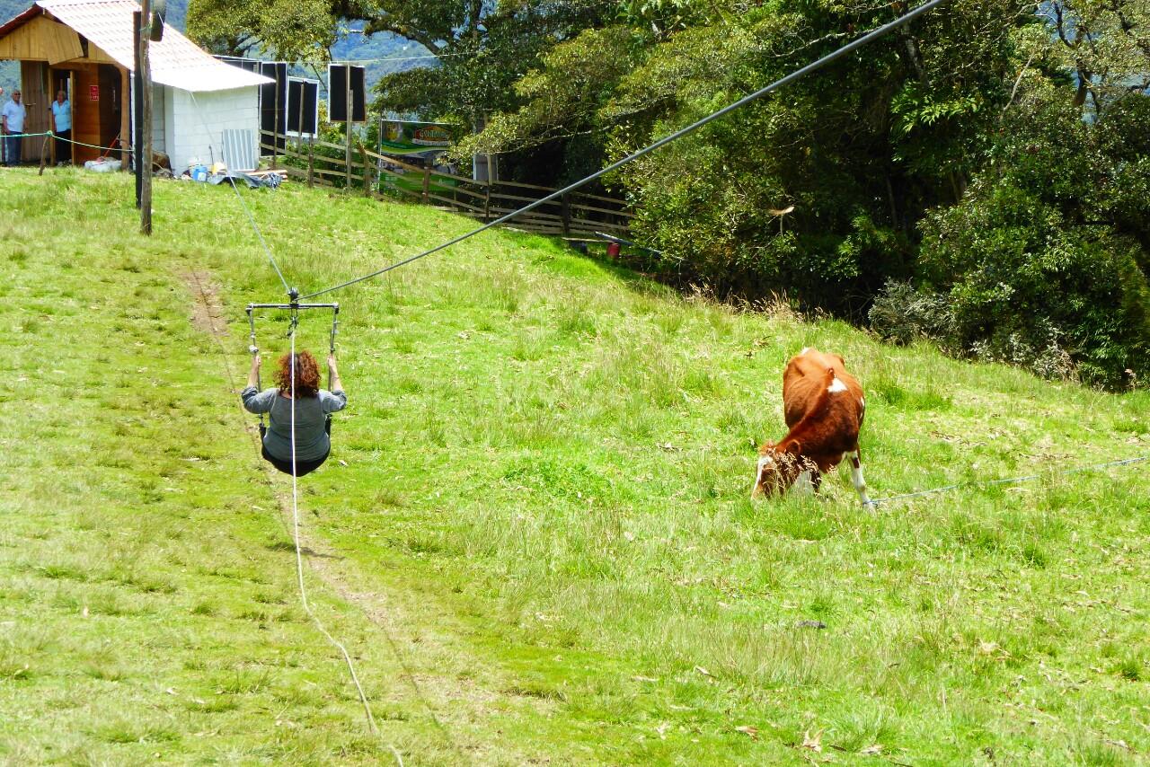 Las vacas pasan olímpicamente de la gente