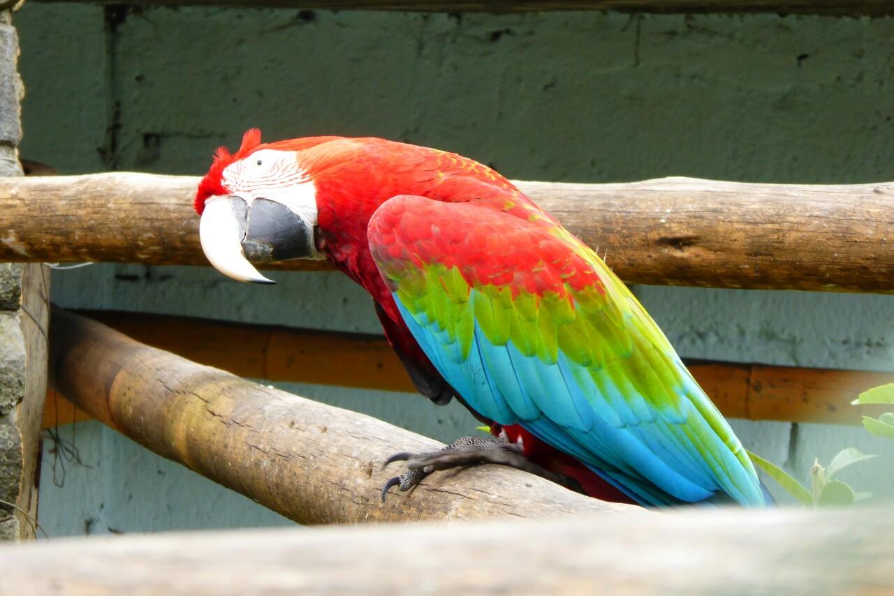 Absolutamente impresionantes los colores de los guacamayos