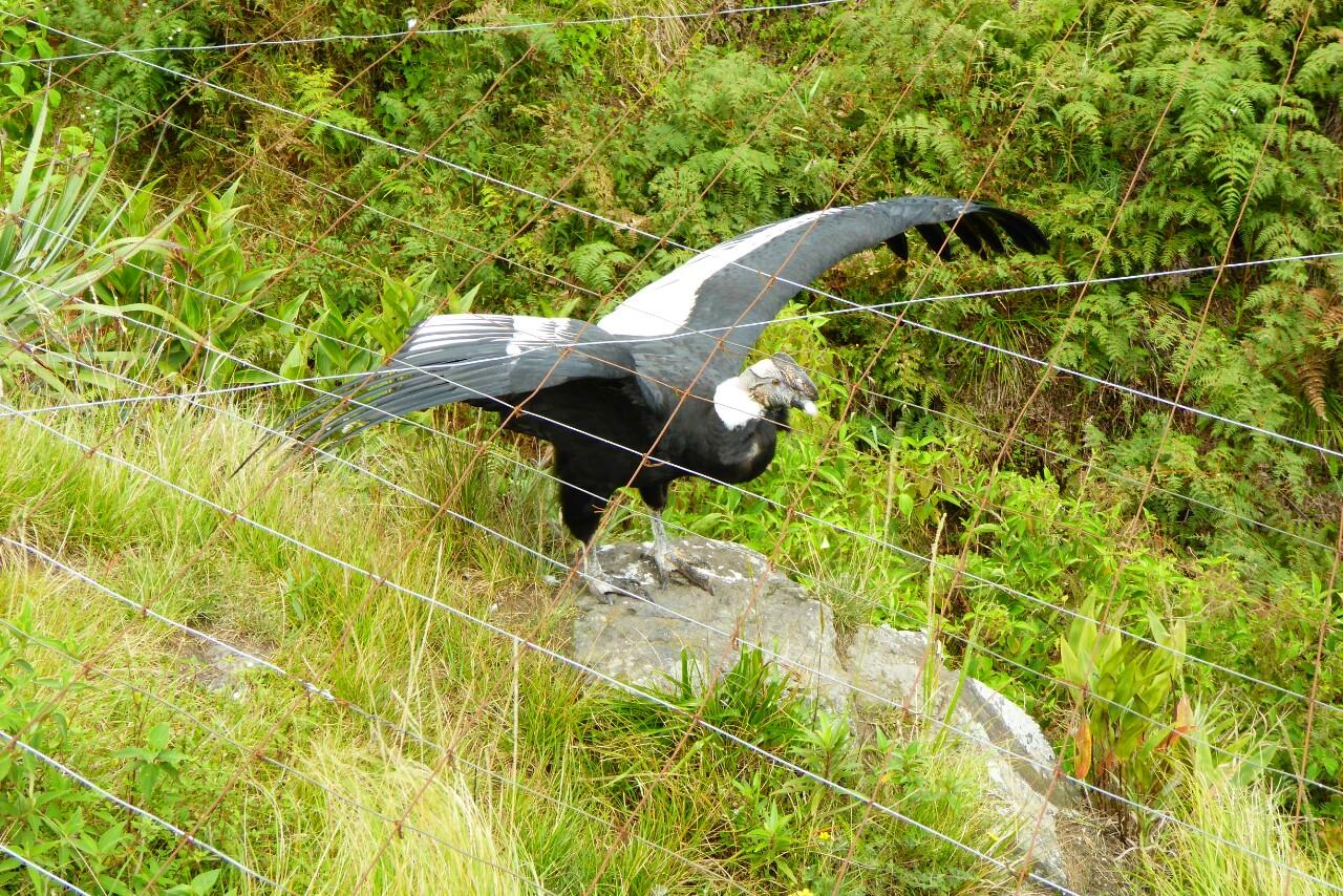 Incluso enjaulado, el cóndor siguen siendo un ave impresionante