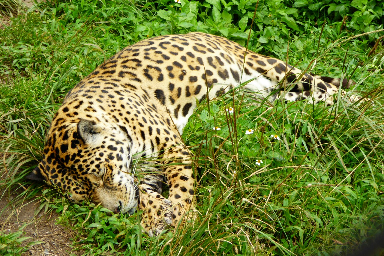El jaguar ni siquiera se dignó a abrir los ojos