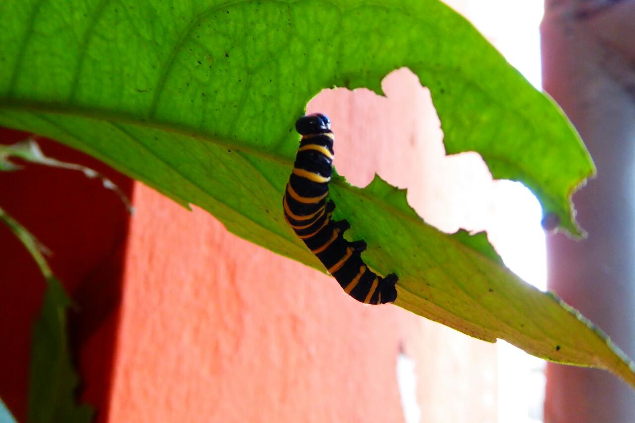 En el jardín del hostal viven unas cuentas orugas negras y amarillas...