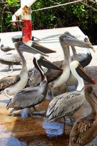 Pelícanos observando como limpian el pescado