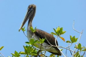 Pelícano sobre el mangle