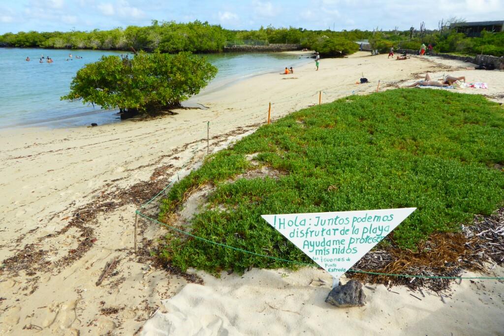 En el camino a la Playa de los Alemanes encuentras numerosos carteles informando de que es época de cría de iguanas y hay que evitar salirse del mismo