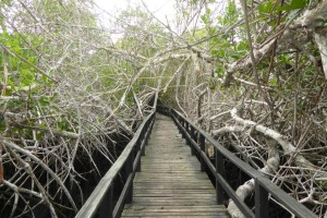 El paseo hasta Concha de Perla por dentro del manglar