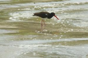 Un Ostrero del Pacífico pescando en la playa