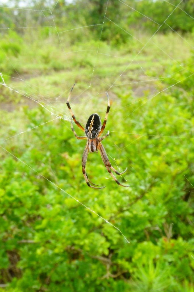 Junto al camino multitud de telarañas de arañas zigzag como esta