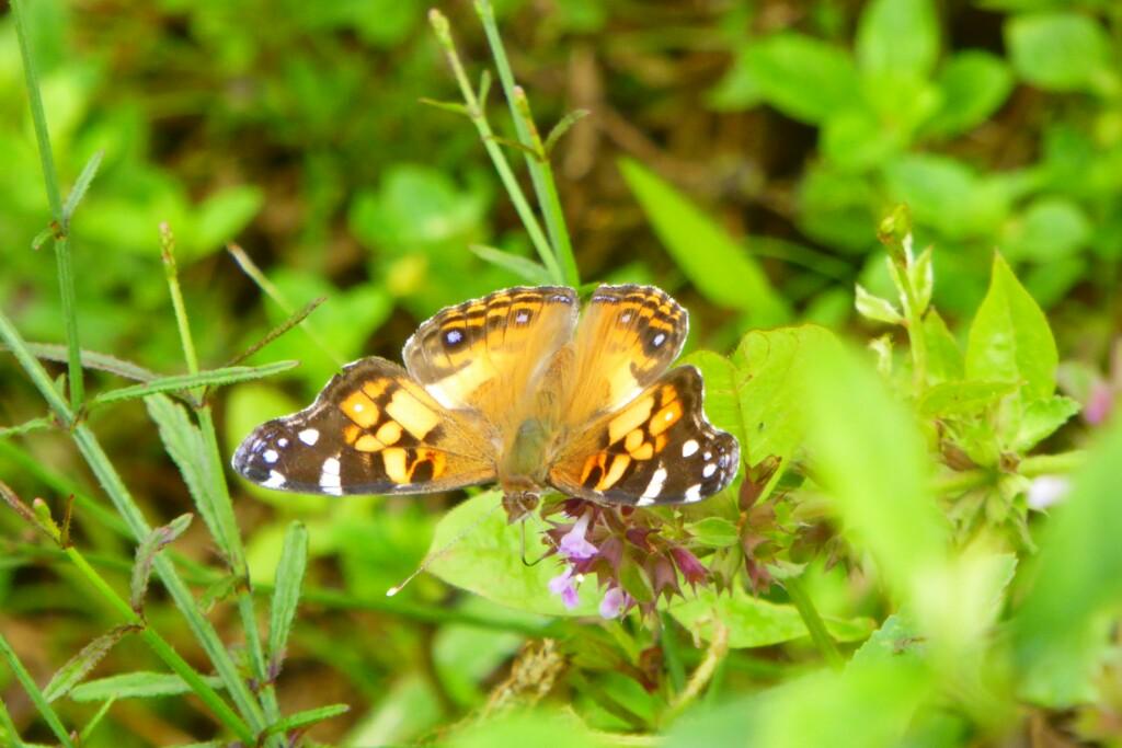 Y esta coqueta mariposa se posó en una hoja a mi lado y empezó a girar sobre si misma mostrando sus coloridas alas