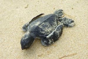 La pequeña tortuga marina muerta bajo un mangle