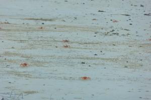 Cangrejos Fantasma correteando por la arena. Hacen divertidas bolitas de arenas alrededor de sus agujeros, no sabemos porqué.