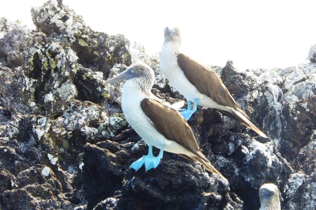 Dos piqueros patas azules