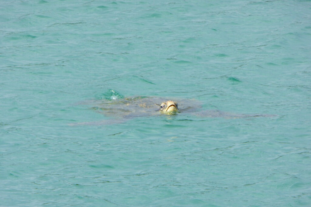Una tortuga marina asomando la cabeza
