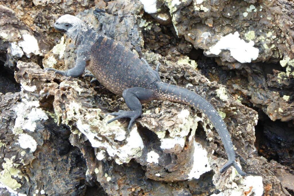 En Tintoreras todas las. iguanas tiene su casa, incluso las de dos colas